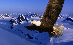 Foto-arend-achtergronden-hd-adelaar-wallpapers-eagle-abeeldingen-12 (800x500)